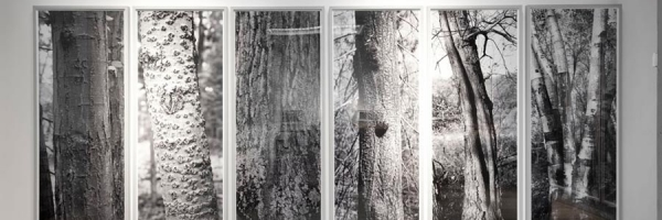 2001 · 24 Tree Studies for Henry David Thoreau